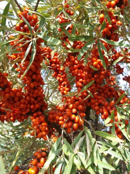 Reicher Fruchtbehang des Sanddorns 'Sirola'