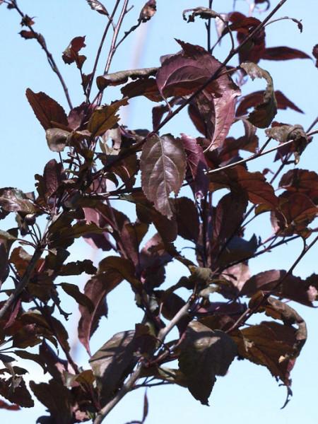 Zierapfel Nicoline Blätter