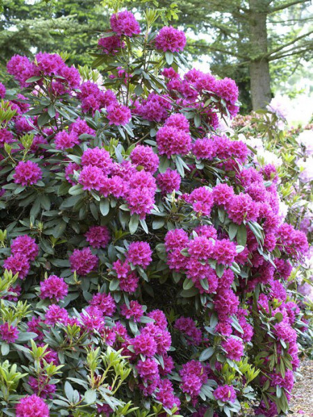 Rhododendron 'Dr. H. C. Dresselhuys'
