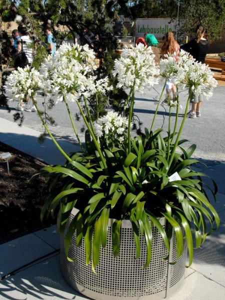 Agapanthus africanus 'Albus', weiße afrikanische Schmucklilie