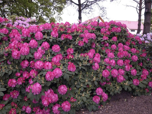 Rhododendron 'Germania'
