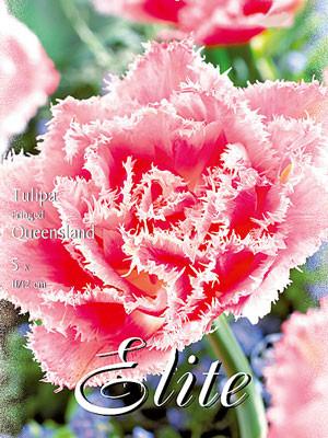 Gefüllte gefranste Tulpe 'Queensland' (Art.Nr. 595538)