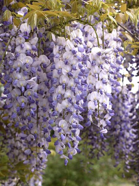 Blütentrauben des Blauregens