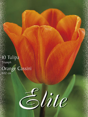 Triumph-Tulpe 'Orange Cassini' (Art.Nr. 595244)
