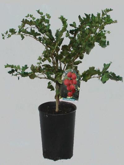 Stachelbeere 'Hinnonmäki', rot