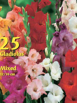 Großblumige Gladiolen-Mischung, Gladiolus (Art.Nr. 522354)