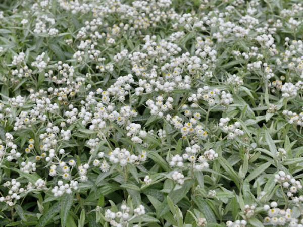 Blatt und Blüte der Silberimmortelle 'Silberregen'