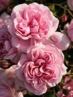 Rose Home and Garden ® - Kordes