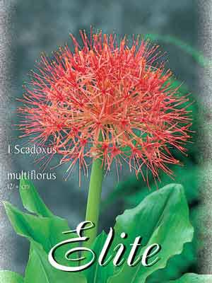Blutblume, Scadoxus multiflorus (Art.Nr. 522050)