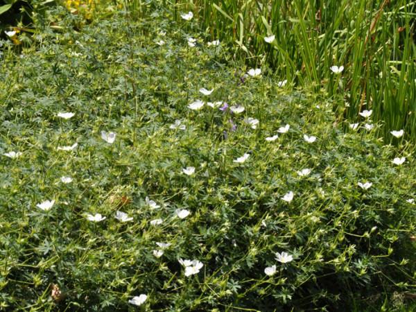 Flächige Bepflanzung mit dem weißen Blut-Storchschnabel