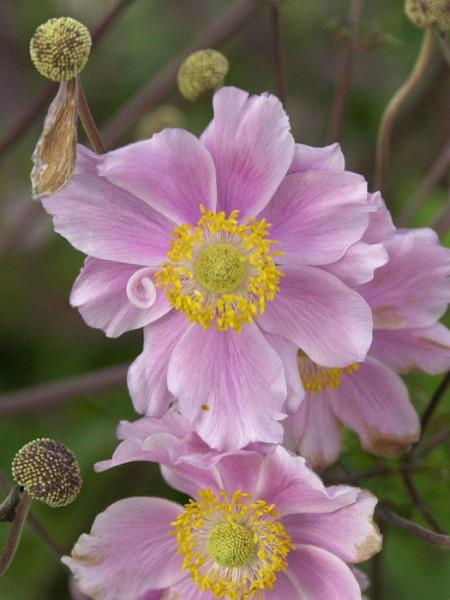 Blüte der Herbstanemone 'Königin Charlotte'