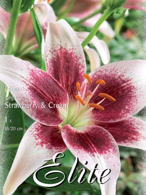 Asiatische Lilien-Hybride 'Tango Strawberry and Cream', Lilium (Art.Nr. 521682)