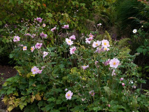 Naturnahe Pflanzung mit der Anemone 'Königin Charlotte'