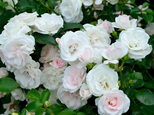 Blüten der Rose Aspirin