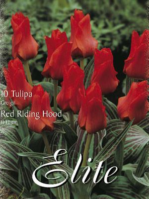 Greigii-Tulpe 'Red Riding Hood' (Art.Nr. 595776)