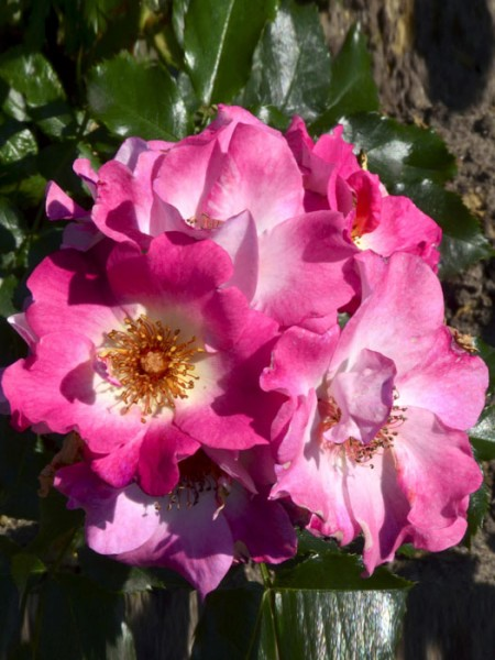 Blühende Rose Dolomiti