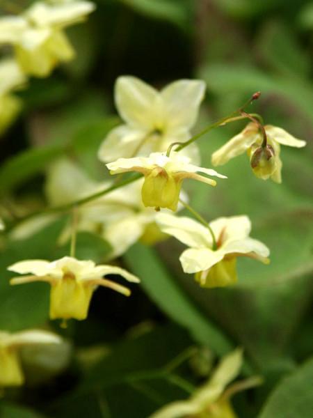 Die bildhübschen Blüten der Schwefel-Elfenblume