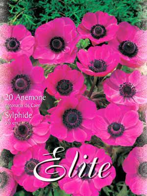 Anemone De Caen 'Sylphide', Anemone coronaria (Art.Nr. 520762)
