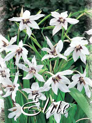 Abessinische Gladiole 'Murielae', Acidanthera callianthus (Art.Nr. 520700)