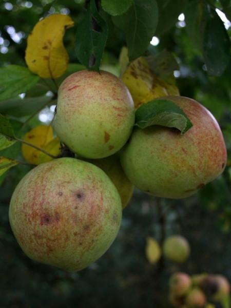 Der Bohnapfel am Baum