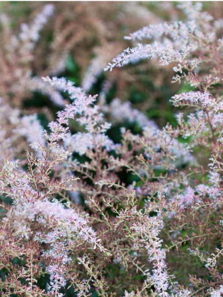 Die Gartenspiere 'Sprite' während ihrer Blüte
