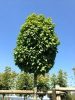 Carpinus betulus 'Monumentalis', kleine Säulen-Hainbuche - XXL-Produkt