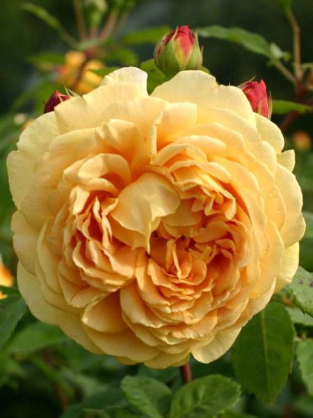 Blüte der Rose Golden Celebration