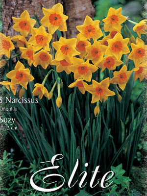 Miniatur-Narzisse 'Suzy' (Art.Nr. 596130)