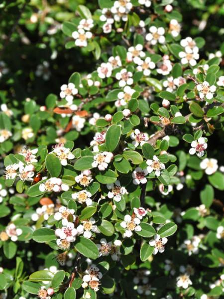 Die Kriechmispel 'Coral Beauty' mit weißer Blüte