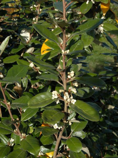 Elaeagnus ebbingei, Wintergrüne Ölweide