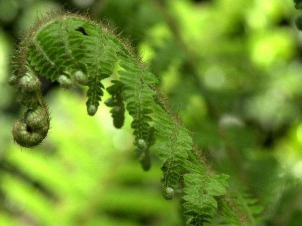 Polystichum setiferum, Weicher Schildfarn, Filigranfarn