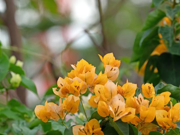 Bougainvillea Hybride 'California Gold, goldbraun-blättrige Bougainvillea