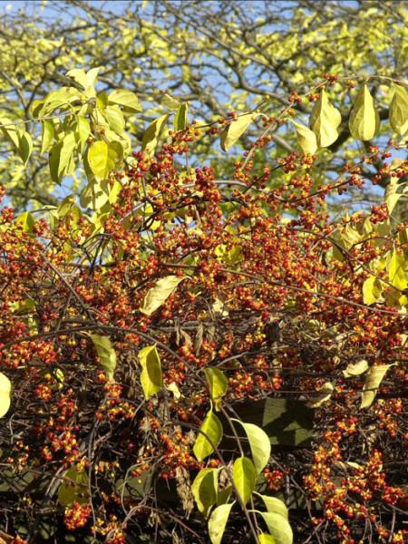 Die Früchte des Baumwürgers