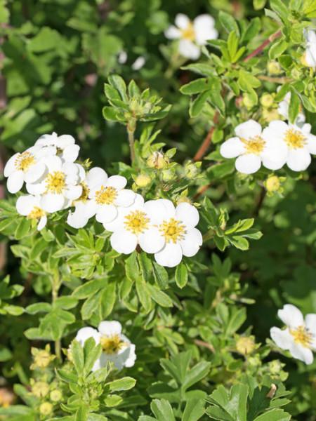 Fingerstrauch mandshurica Blüte
