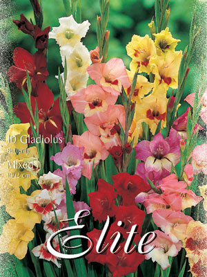 Schmetterlings-Gladiolen, Mischung, Gladiolus (Art.Nr. 521350)