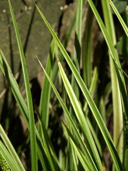 Carex morrowii 'Variegata' (M), Weißrandige Japan-Segge