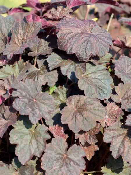 Heuchera x hybrida 'Mocha'®, Purpurglöckchen, Purpurblatt