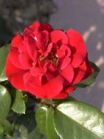 Rose Gruß an Bayern ® - Kordes