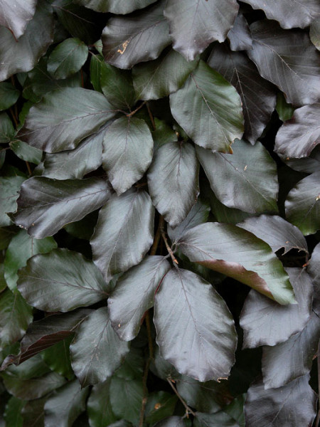 Fagus sylvatica 'Purpurea Pendula', Schwarzrote Hängeblutbuche - XXL-Produkt