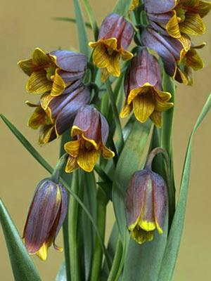 Kaiserkrone 'Uva-Vulpis', Fritillaria (Art.Nr. 596770)