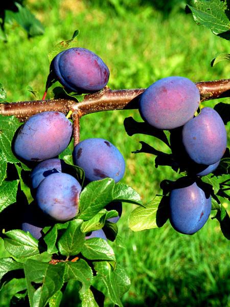 Früchte der Zwetsche Jolina