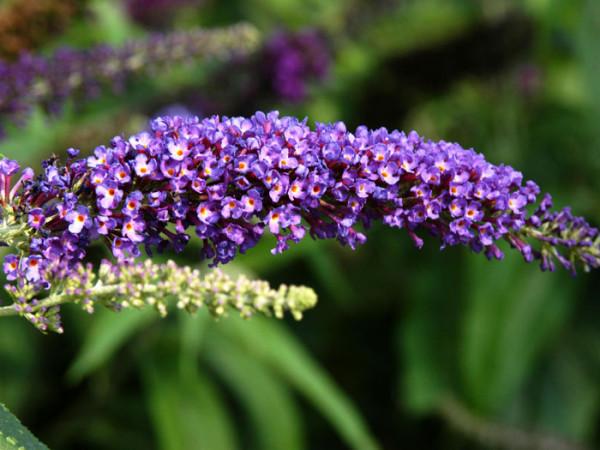 Violetter Blütenstand des Sommerflieders 'Empire Blue'