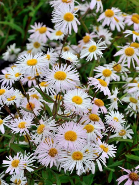 Erigeron x cultorum 'Sommerneuschnee' (M), Feinstrahlaster