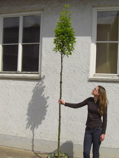 Carpinus betulus Fastigiata, Säulen-Hainbuche - XXL-Produkt