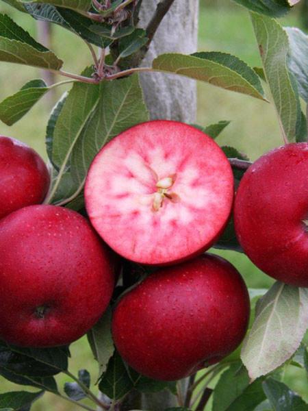 Apfelfrucht Rosette