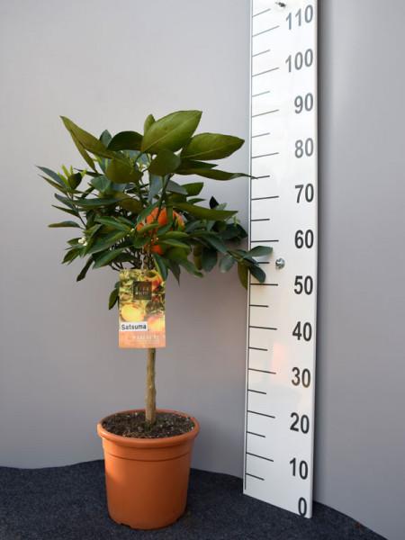 Mandarinenbaum, Citrus reticulata