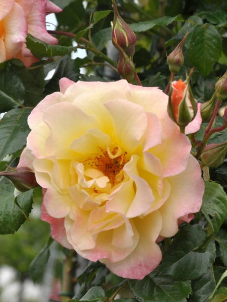 Blühende Rose Moonlight
