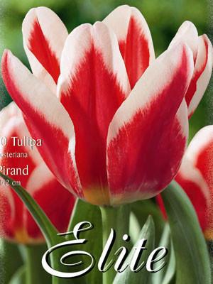 Fosteriana Tulpe 'Pirand' (Art.Nr. 595720)
