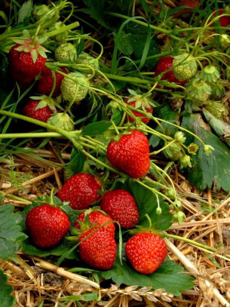 Erdbeere 'Symphony'