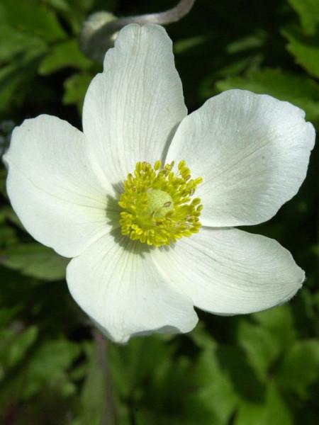 Attraktive, weiße Einzelblüte des Waldwindröschens